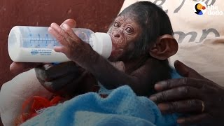 Baby Chimp Loses Family, But Is So Loved Now | The Dodo