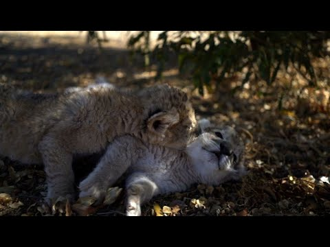 World's first artificially conceived lion cubs born in S. Africa