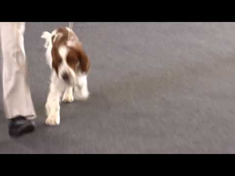 Welsh Springer Spaniel Cormallen Perfect (Mac)