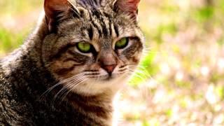 Порода кошек. Калифорнийская сияющая кошка.Достаточно редкая экзотическая порода кошек