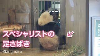 2019/8/10 (2) スペシャリストシャンシャン!足さばきまで凄い Giant Panda Xiang Xiang