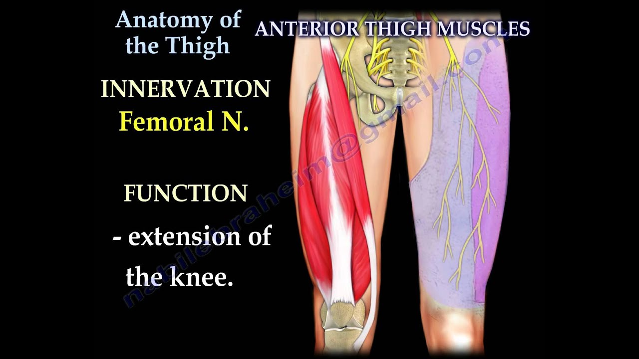 anatomy of the thigh everything you need to know dr nabil ebraheim [ 1280 x 720 Pixel ]