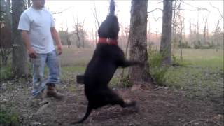 Largest Xl Bully Huge Bear Cub, The Riddick Of Manmade Kennels: Giant Pitbull