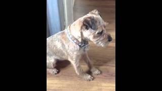 Border Terrier Trying Not To Play With Cat