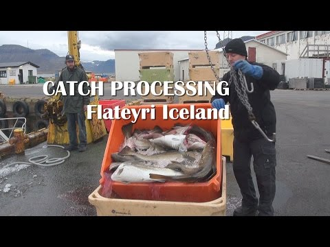 Fish Processing In Iceland Cod Fishing In Flateyri