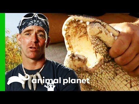 Performing Life-Changing Jaw Surgery On An Injured Gator   Gator Boys