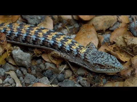 Alligator lizard facts - Care, breeding and raising babies