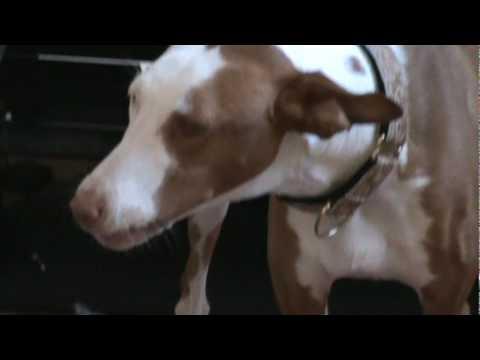 Maya the Ibizan Hound wants Jock's bone.