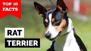 Rat Terrier  Top 10 Facts