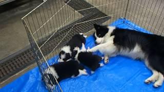 ジャスミンはとても子煩悩 子犬たちの面倒をよく見てくれとても可愛がっ...