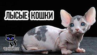 Лысые кошки / Интересные факты о кошках