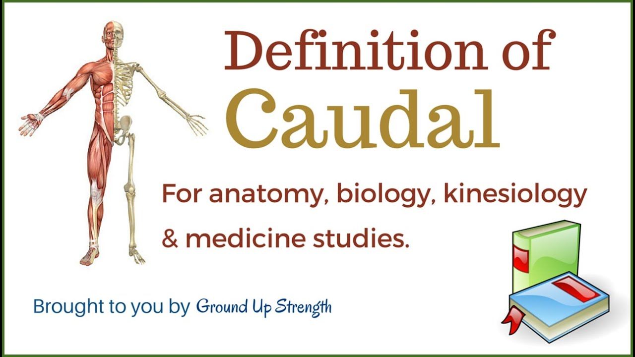 Caudal Definition (Anatomy, Biology, Kinesiology, Medicine) - YouTube