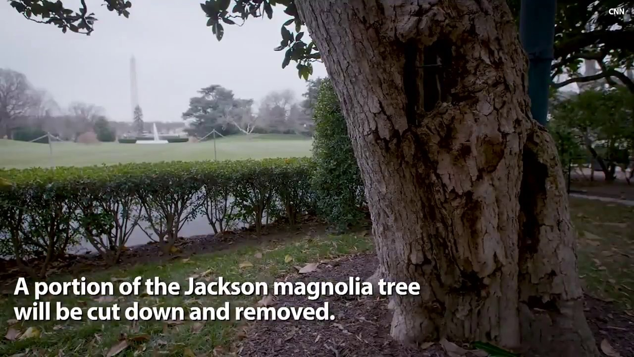 Historic Jackson Magnolia To Be Removed From White House Grounds
