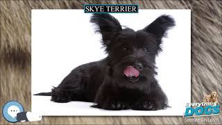 Skye Terrier  Everything Dog Breeds