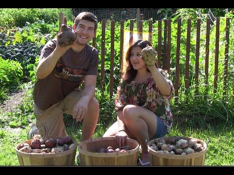100% Organic Potato Harvest   MIgardener