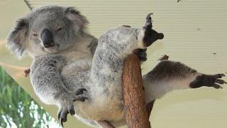 Он вам не медведь! Австралийская мятная подушка или просто КОАЛА! смотреть онлайн в хорошем качестве - VIDEOOO