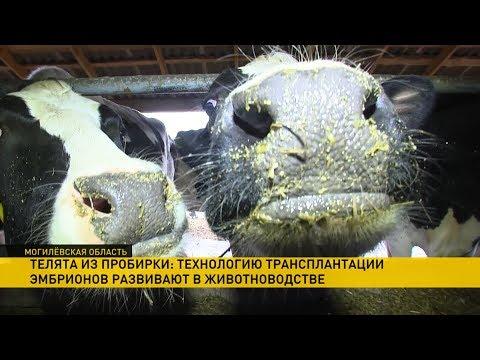 Быки и коровы из пробирки: сельхоз хай-тёк в Могилёвской области