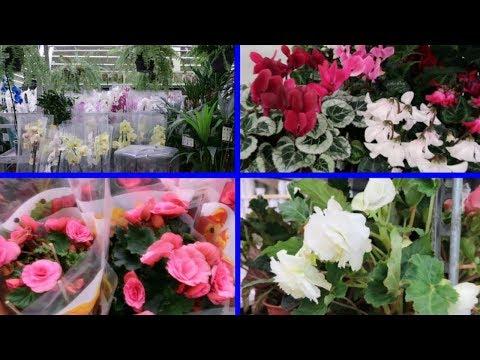 ЛЕРУА МЕРЛЕН Шикарные комнатные цветы в LEROY MERLIN