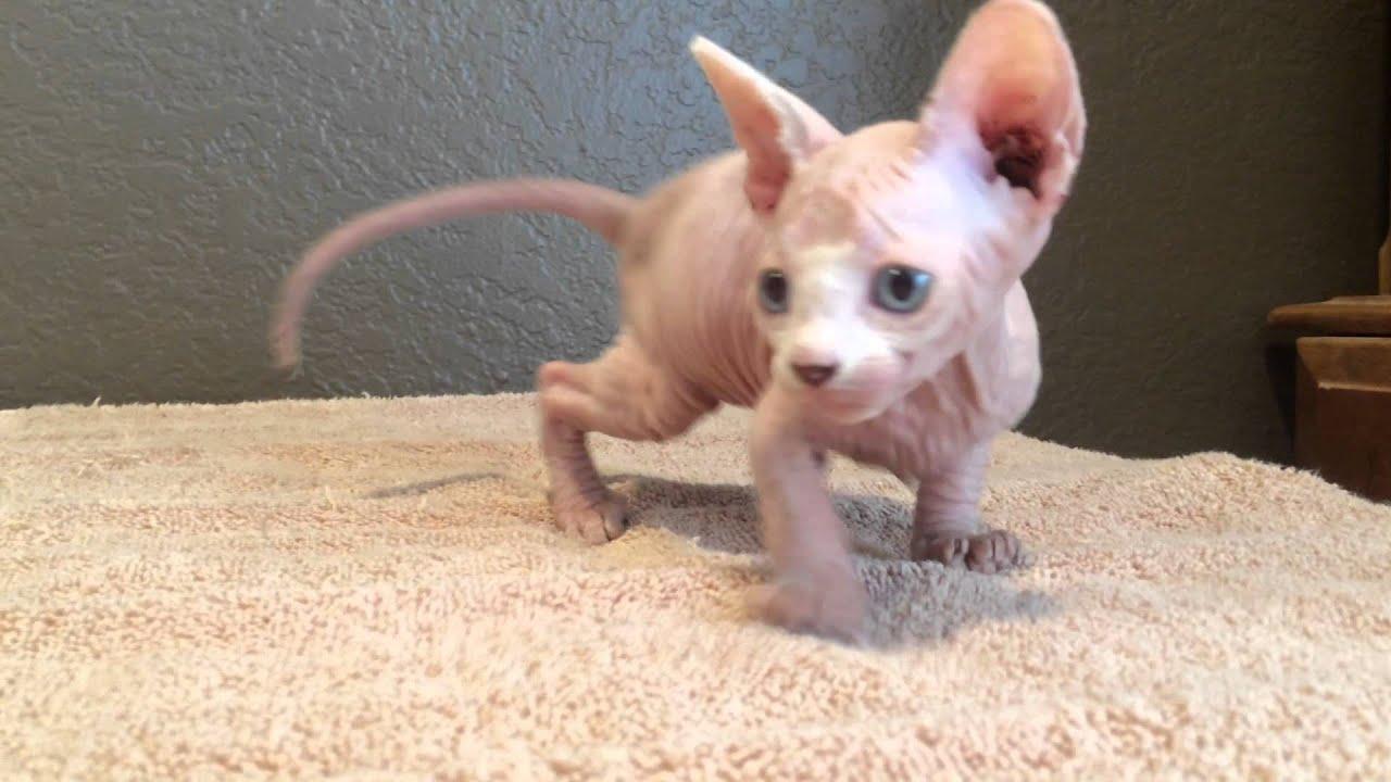 Adorable Available Hairless Sphynx Kitten Quinn!