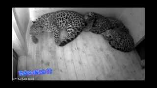 Amur Leopards cub at the milk bar 2012 10 25