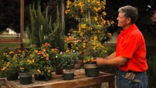 How to Trim Vining Lantana : Garden Savvy