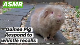 Very Excited Guinea Pig Respond to Whistle Recall | Things To Do With Guinea Pig Pet | Chia ASMR