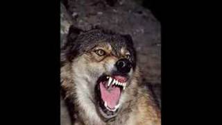 Wolf Sounds 2 *Growling*
