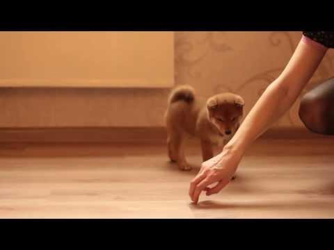 Shiba-Inu Puppies