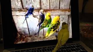 Porno seyreden muhabbet kuşu