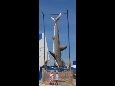 Большая белая акула поймана в Азовском море.Видео