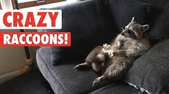 Raccoons Are Just Weird Cats   Crazy Raccoon Compilation 2017