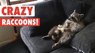Raccoons Are Just Weird Cats | Crazy Raccoon Compilation 2017