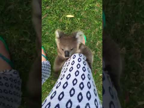 Young Koala Chases Carer and Climbs Her Leg