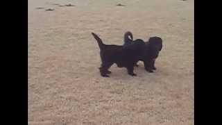 桃太郎とヴィーナスの仔犬。女の子3頭。初めて公園デビューしました。