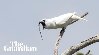 White bellbird: listen to the world's l...
