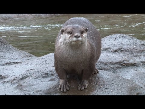 Thumbnail: Otters step on the scales at ZSL London Zoo