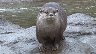 Otters step on the scales at ZSL London Zoo