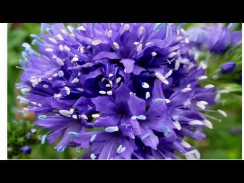 Гилия. Голубые помпоны в саду.