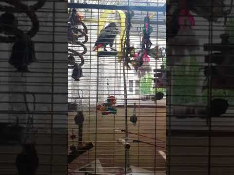 Our African grey parrot talks