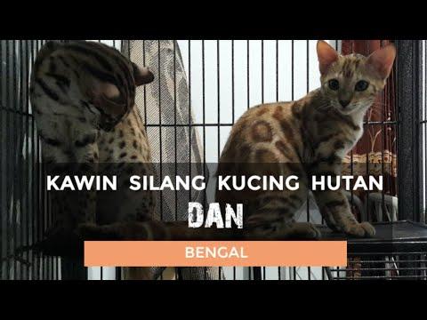CAT BREEDING TIME!! (Siamese cats) | FunnyCat TV