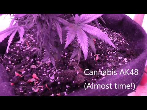 Salvia Divinorum Plant, Poppy Plant and Cannabis