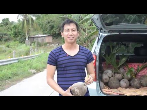 """explaining what is a """"macapuno"""" coconut in laymans terms"""