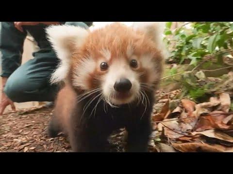 Des Pandas Oui Mais Des Pandas Roux