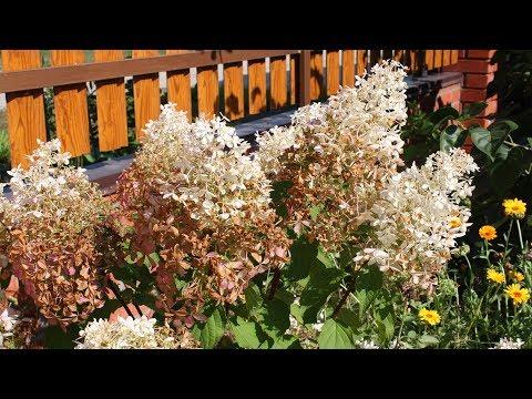 Цветы гортензии стали коричневыми Как спасти гортензию