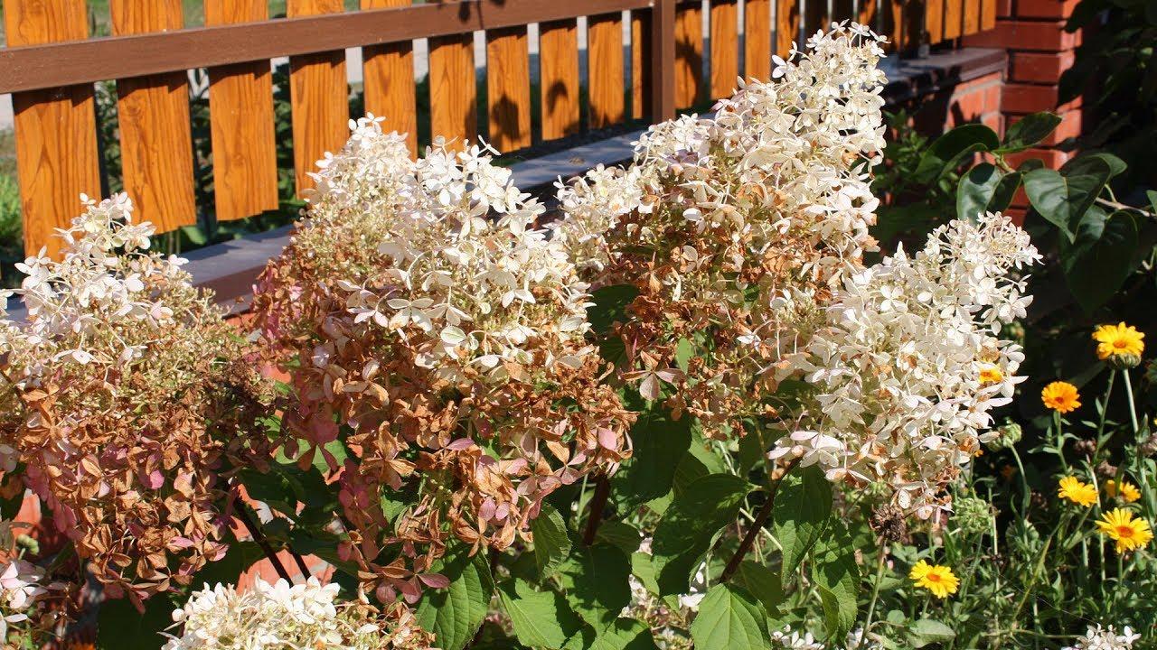 почему у метельчатой гортензии коричневеют цветы