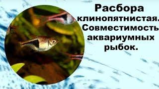 Расбора клинопятнистая. Совместимость аквариумных рыбок.