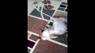 кошачий танец на полу