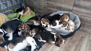 Beagle kutsikad