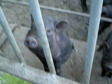 Odessa/Zoo/Pigs