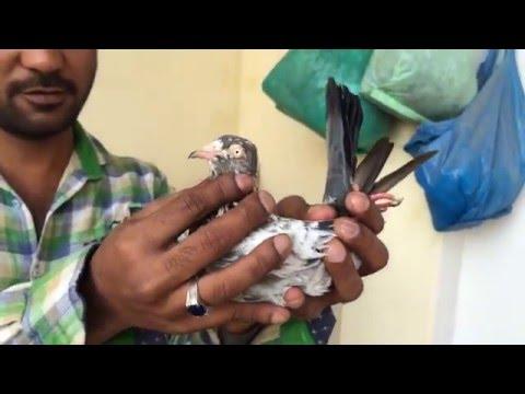 Indian Pigeons Naushad Khan Saharanpur India.